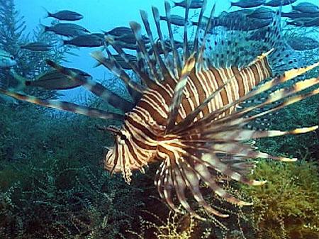 Lionfish-Pterois-volitans