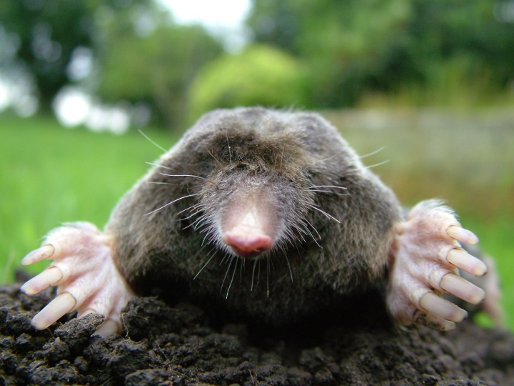Close-up_of_mole