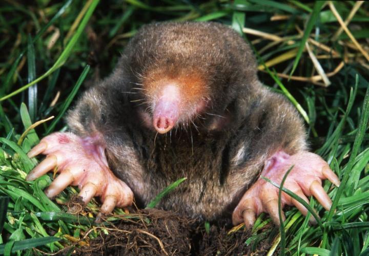 eastern-mole-s-aquaticus-2