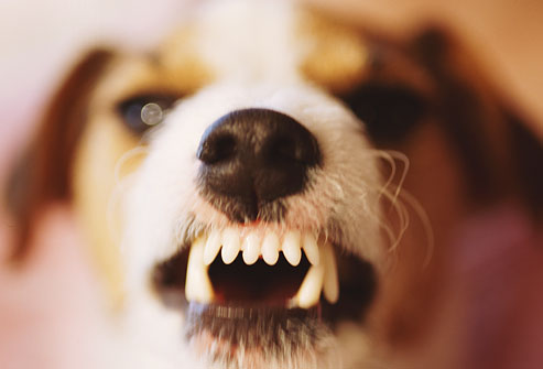 getty_rm_photo_of_terrier_baring_teeth