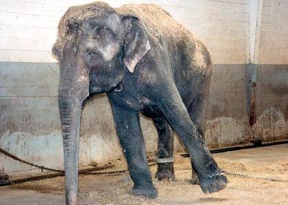 elefante%20encadenado