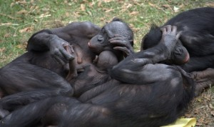 bonobo-group-hug-530x315