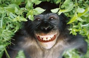 bonobo1